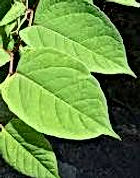 japanese knotweed 2.jpg