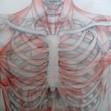 Anatomiestudie Brustkorb
