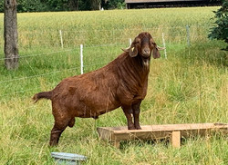 Kalhari red Bock
