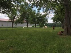 Landschaftspflege Ziegen
