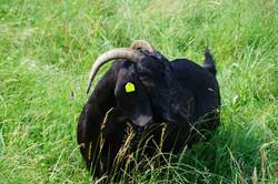 Kalahari black goat