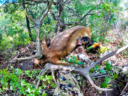 'There He is Guys!' Jaeger's First Elk