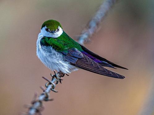 Violet & Green Sparrow