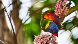 Rainbow Lorikeet Feeding 01