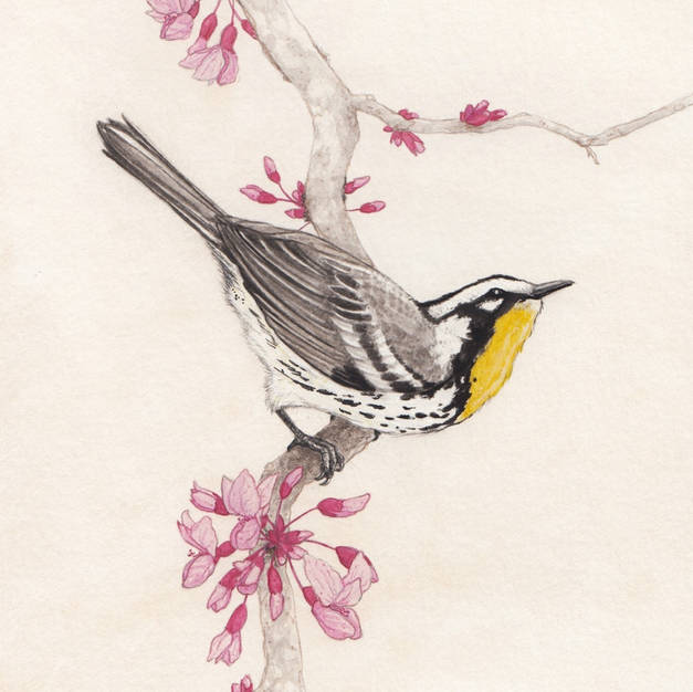 Yellow-throated Warbler on Eastern Redbud