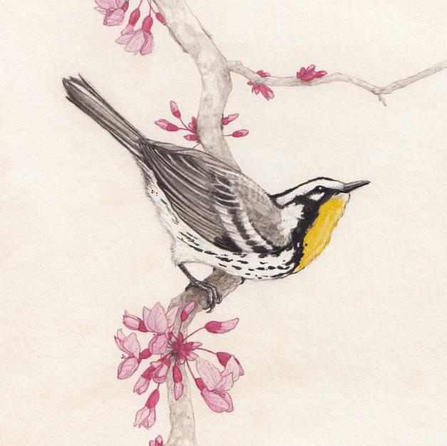 Yellow-throated Warbler on Eastern Redbud