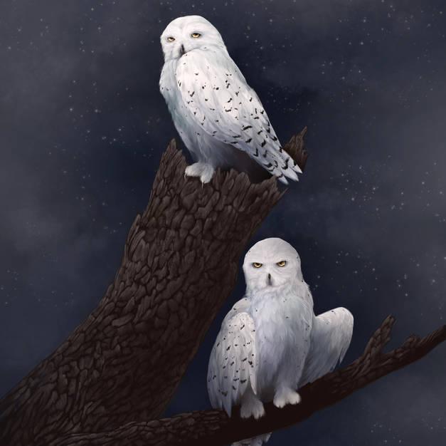 Snowy owl pair