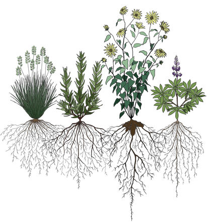 Resource partitioning between grassland species