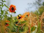 RedSunflowers, LifeAndLearning365.com.JP