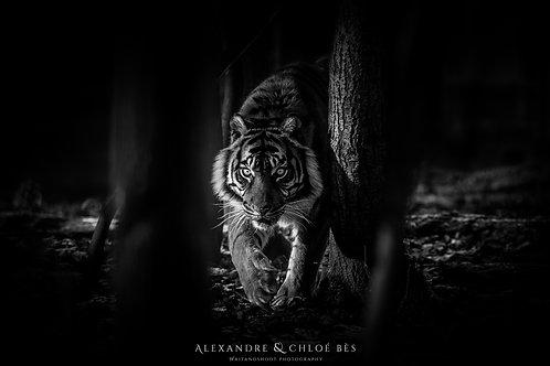 L'approche du tigre