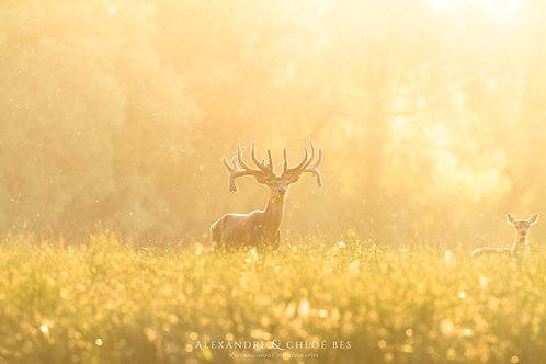 Le cerf au couché du soleil