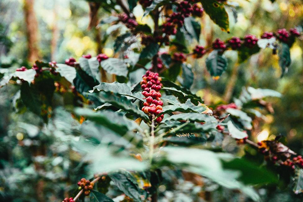 coffee-plant_1512x-1.jpg