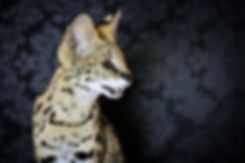 African Serval, Savannah Cat, Bengal cat