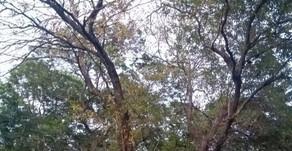 Pandemic panic threatens Illuppai trees across the city!