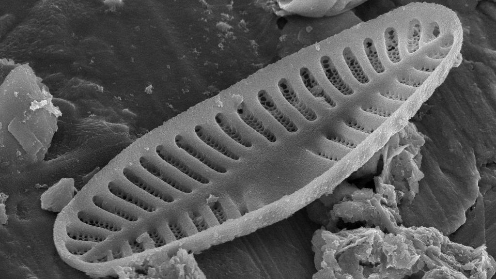 Planothidium lanceolatum