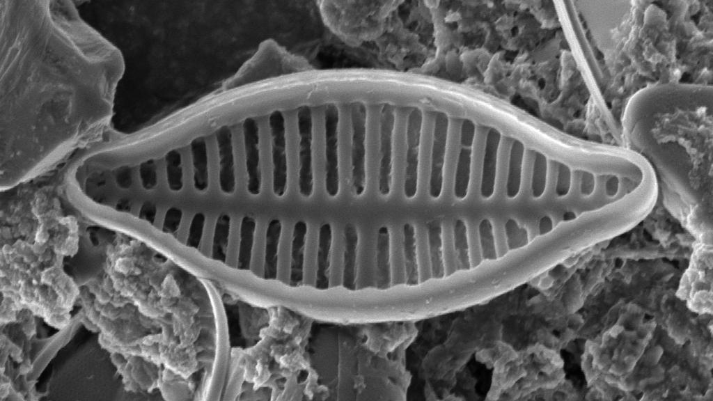 Planothidium delicatulum