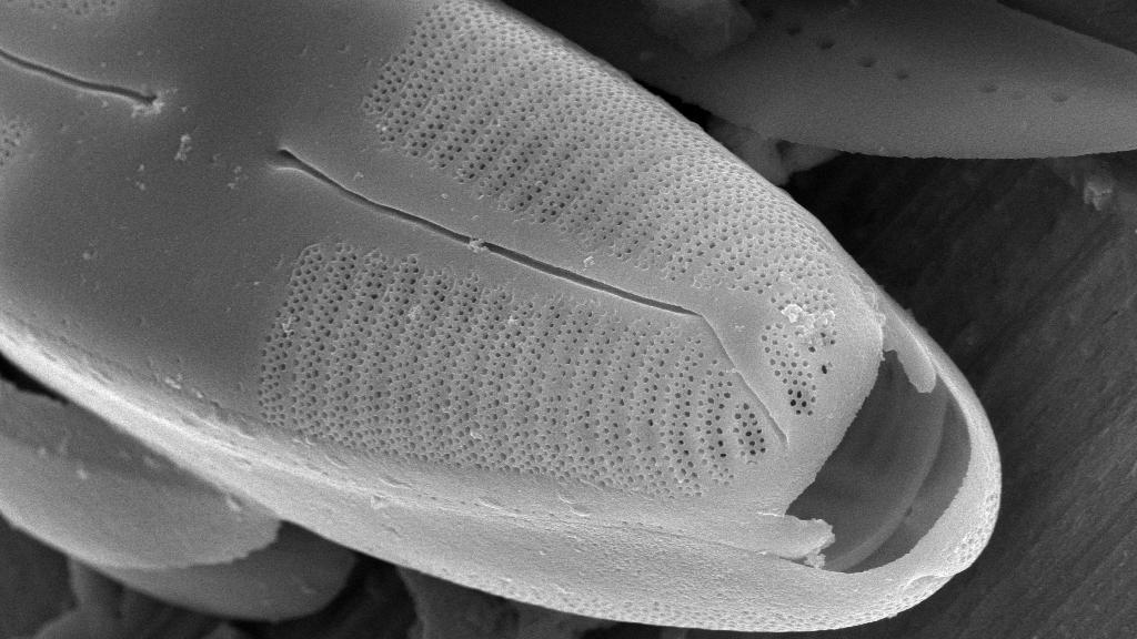 Caloneis fontinalis