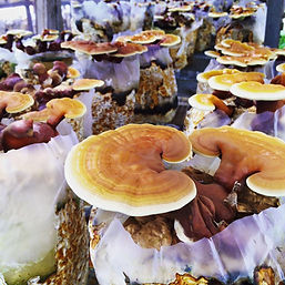 golden tree farm, reishi