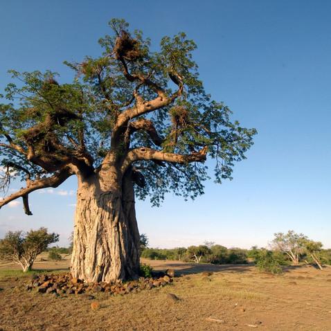 Baobab-Öl