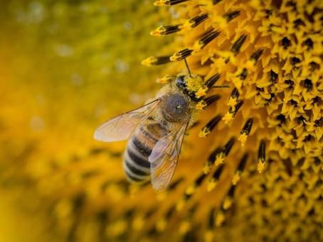 Op zoek naar natuurlijke en lekker geurende kaarsen; de bijenwaskaars