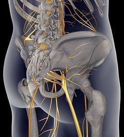 sciatic nerve.jpg