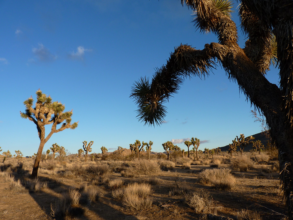 Endangered western Joshua trees in Joshua Tree National Park