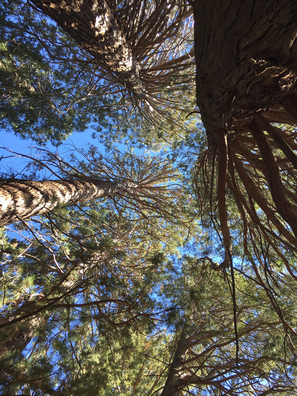 Sequoias and redwoods grow in the Oak Glen Preserve