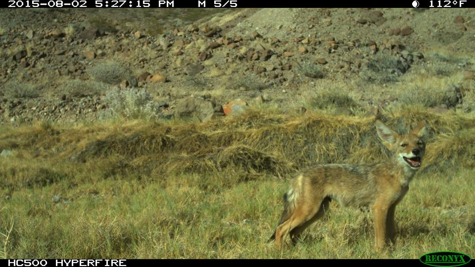 A coyote captured on camera at Bonanza Spring in the Mojave Desert.  The spring would be endangered by the Cadiz water project.