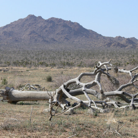 Join Mojave Watch in Calling for State Protection for our Iconic Joshua Trees