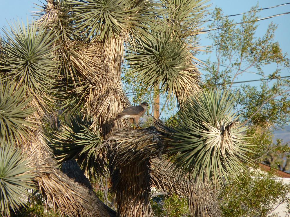 Male Cooper's hawk in Joshua tree.