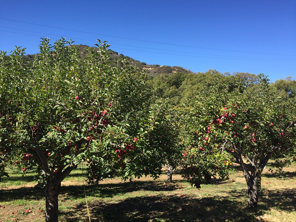 Apple orchards - what started it all in Oak Glen