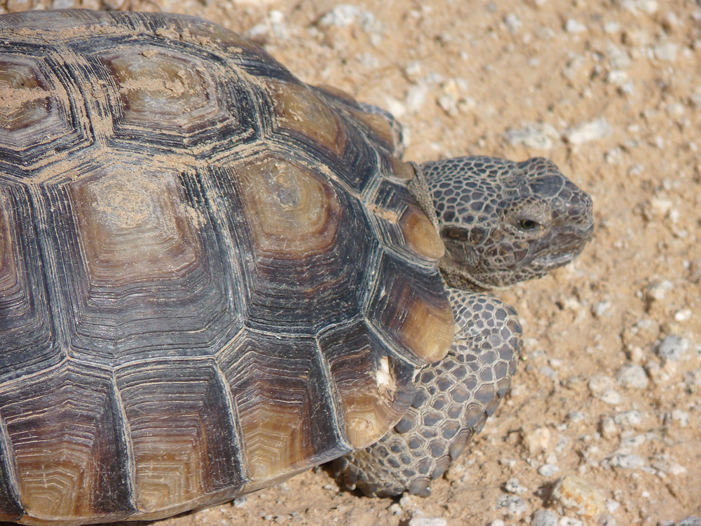More than 1,000 acres of prime habitat for the threatened desert tortoise will be eliminated by the Paradise Valley development.