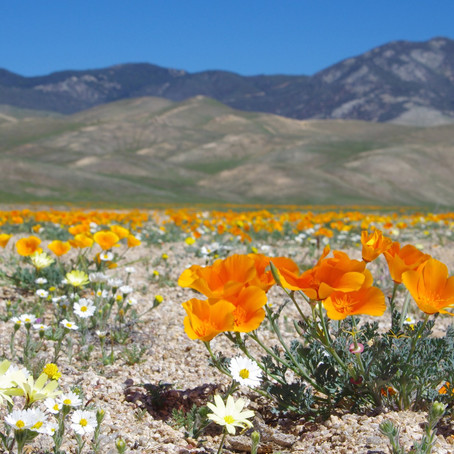 A Botanist Comes Full-Circle: From Studying to Defending Tejon Ranch
