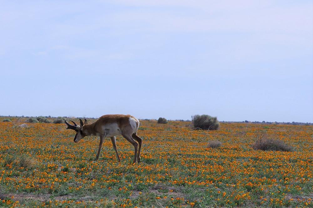 Tejon Ranch, photo by Nick Jensen, California Native Plant Society.