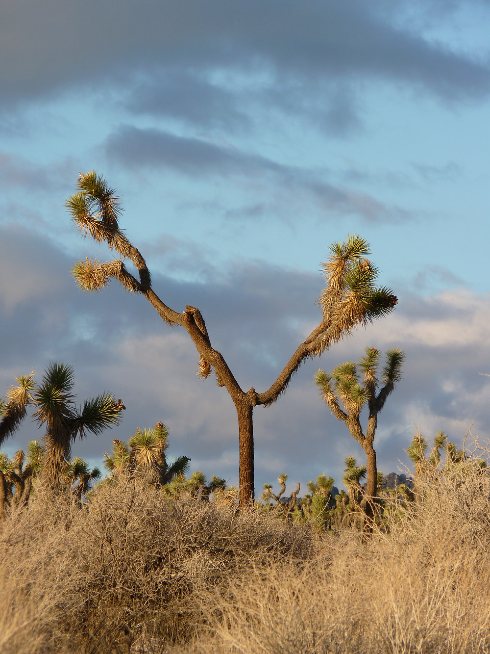 The endangered western Joshua tree in Joshua Tree National Park.