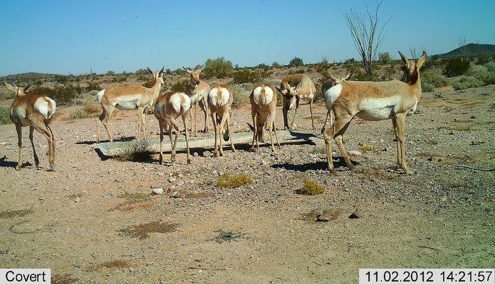 Sonoran pronghorn antelope at Cabeza Prieta National Wildlife Refuge.