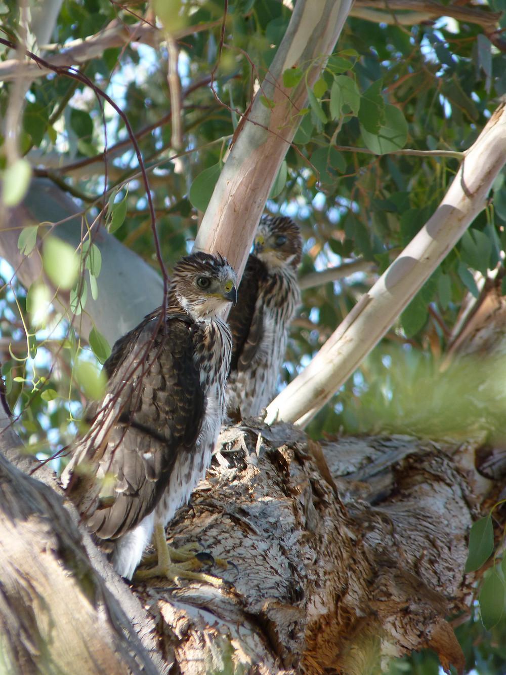 Juvenile Cooper's hawks