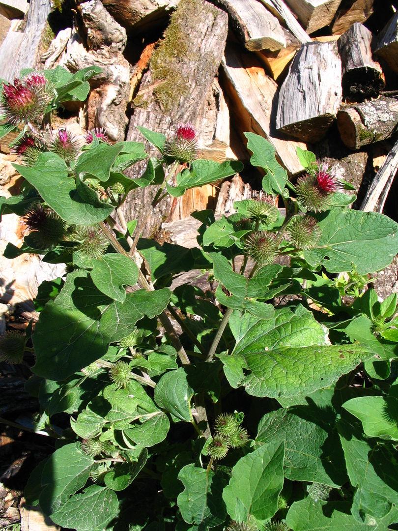 Copie de plantes 020.jpg