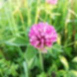 Dégustation de fleurs de trèfle. À table