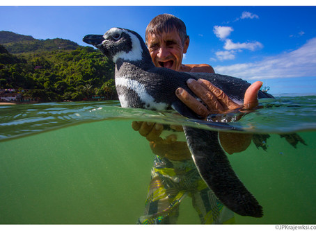 The true story of Dindim, the rescued penguin from Ilha Grande, Brazil, that returns every year to h
