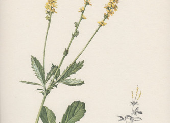 Helpful Herbs: Agrimony