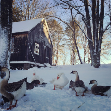 Adding Ducks, and Other Spring Chicks