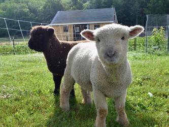 Welcome Home Sheep!