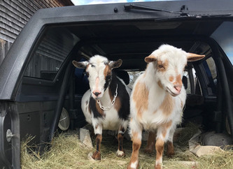 New Goats on the Farm