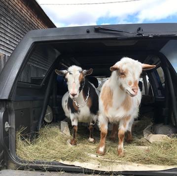New Goats on the Farm