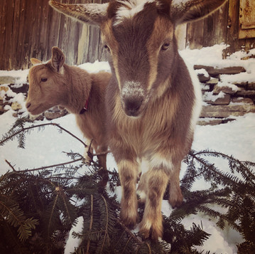 Keeping Goats (and other Animals) Warm in Winter