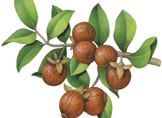 Helpful Herbs: Jojoba