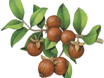 Helpful Herbs: Jojoba