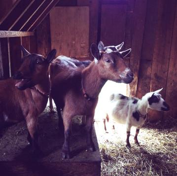 Choosing Nigerian Dwarf Goats
