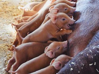 Piglets 2019